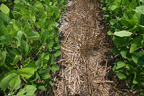 strip-till soybeans planted into small grain (cover crop) residue